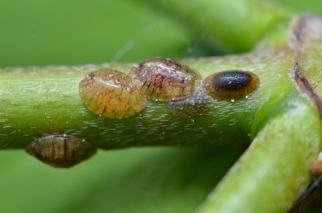 Scale Insects on Dogwood