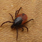 If you find a tick, don't panic but try to remove it within 15 minutes. Tick removal spoons are good to have on hand.