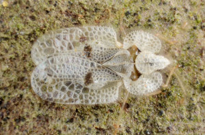 Sycamore Lace Bug by Gilles San Martin is licensed under CC SA 2.0