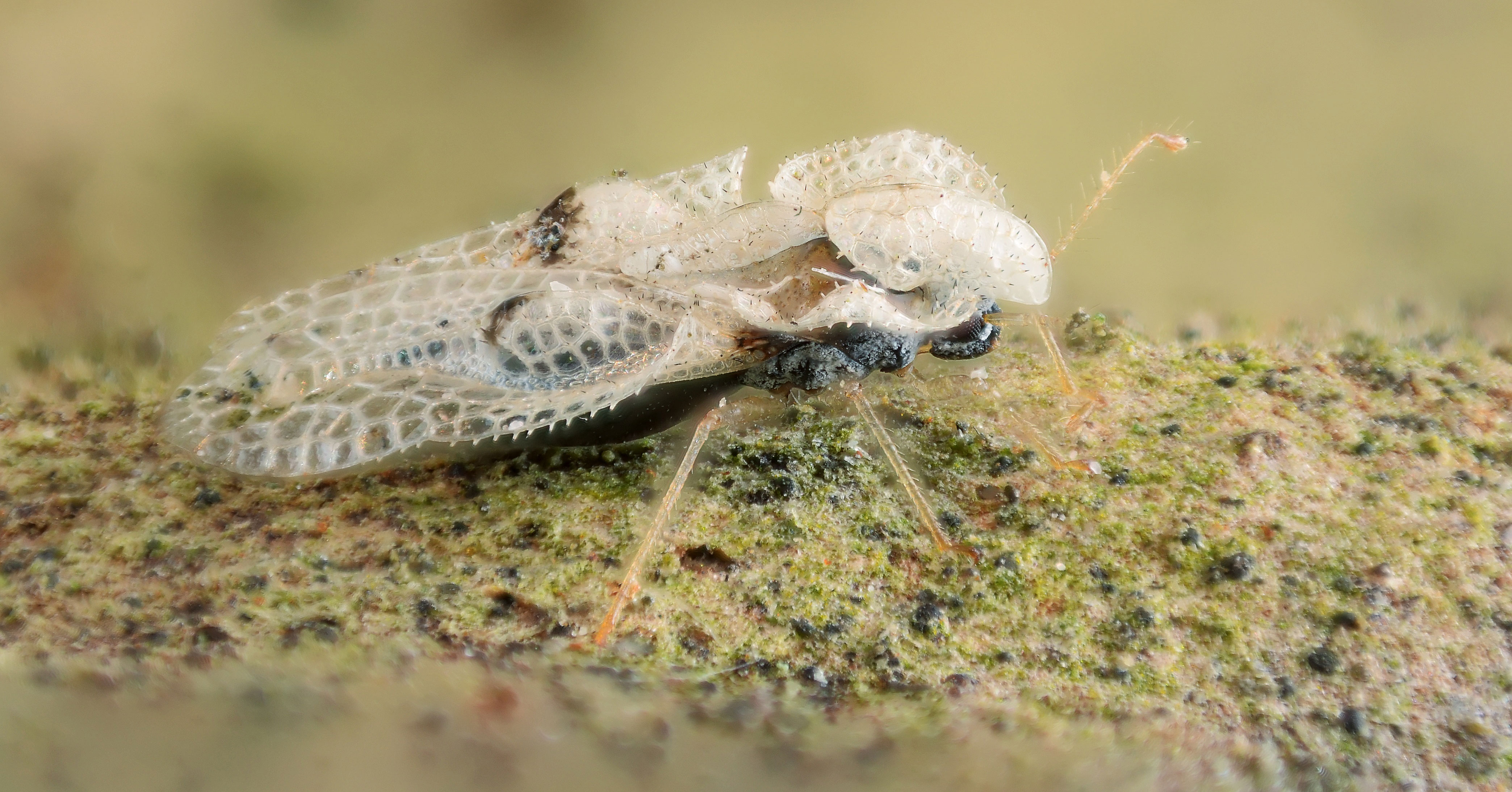 Sycamore_Lace_Bug_full2