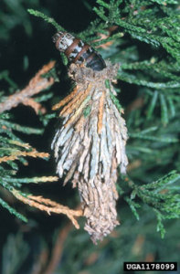 Bagworm caterpillar (Thyridopteryx ephemeraeformis) emerging from cocoon.