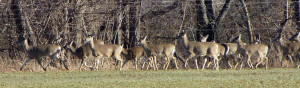 In many suburbs you may see 8 to 15 deer at a time. Photo by Dr. Sing H. Lin, 林星雄 博士
