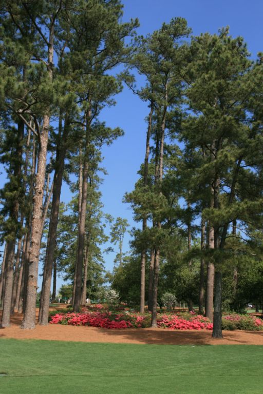 Loblolly Pines tower over the course. The pine straw mulch contrast vividly with the green turf and the blue sky.