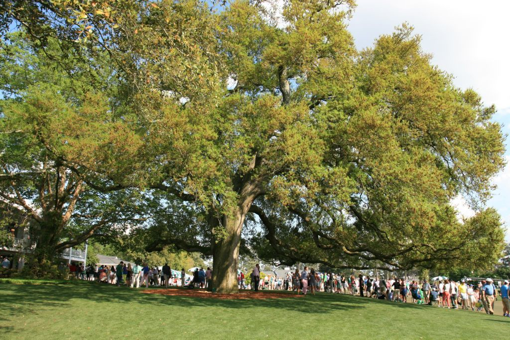 Patrons gather under the shade of this incredible Live Oak Tree on the course side of the clubhouse.