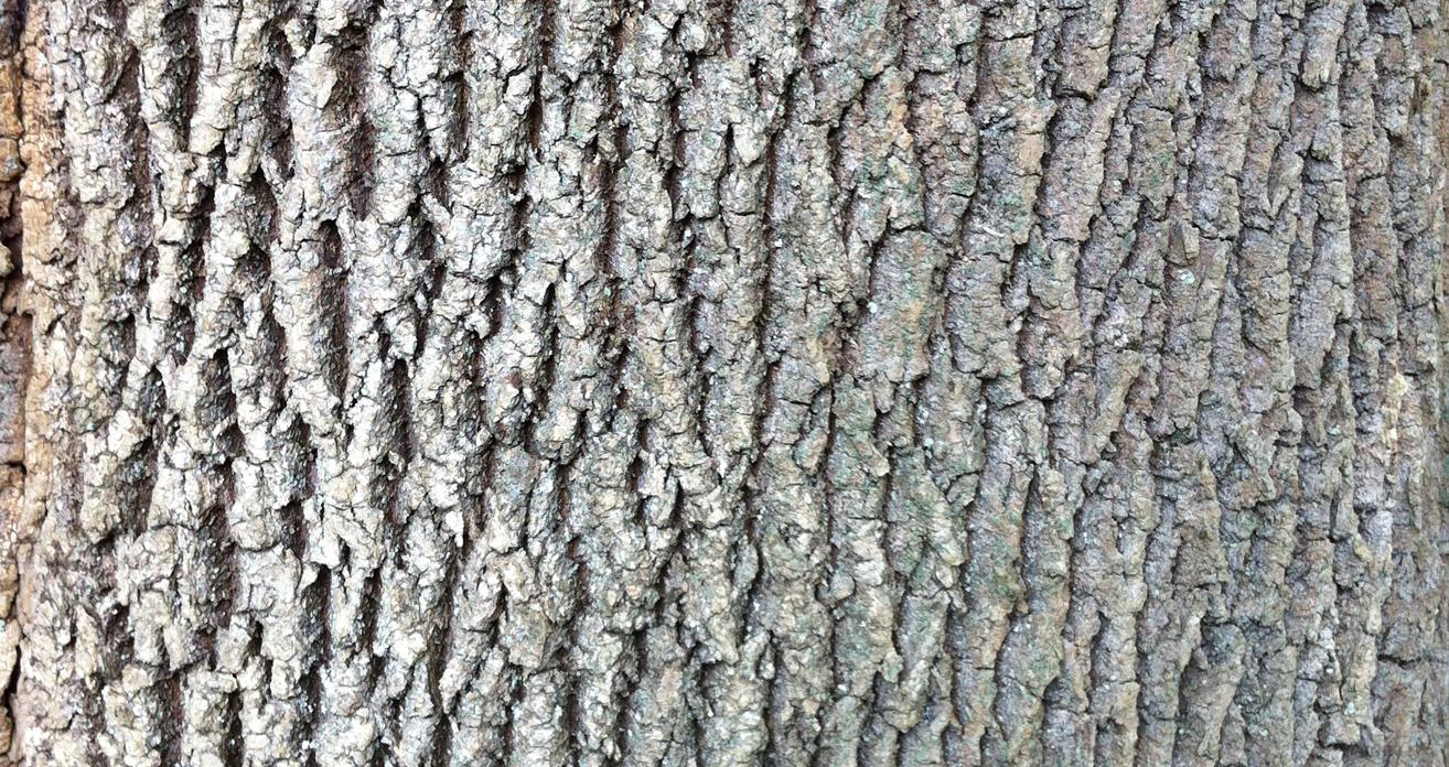 Ash Wood Bark ~ Fairfield county emerald ash borer quarantine